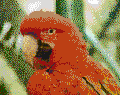 Red and Green Macaw - Mosaic Art