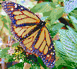 Monarch Butterfly - Mosaic Art